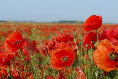 Крым цветущий: когда ехать на маковые поля